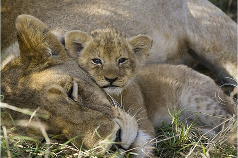 african-lion-and-cub