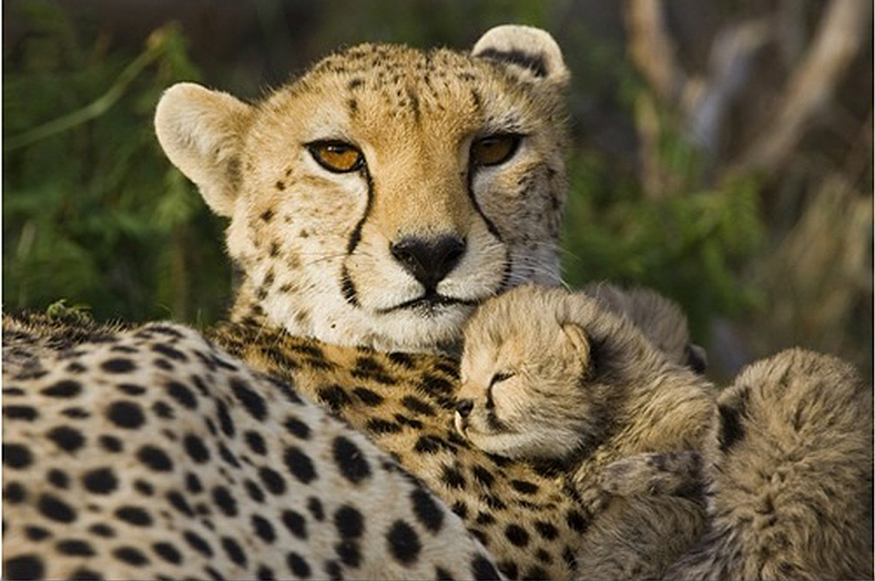 cheetah-thirteen-day-old-cub-resting-against-mother-in-nest