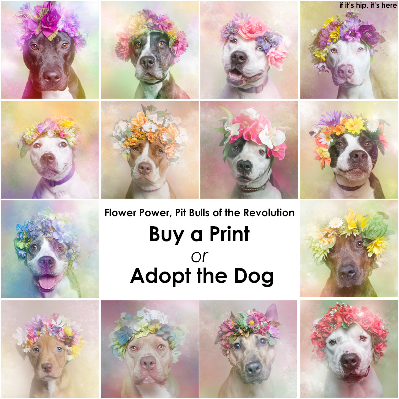 Pit Bulls Flower Power Ganged