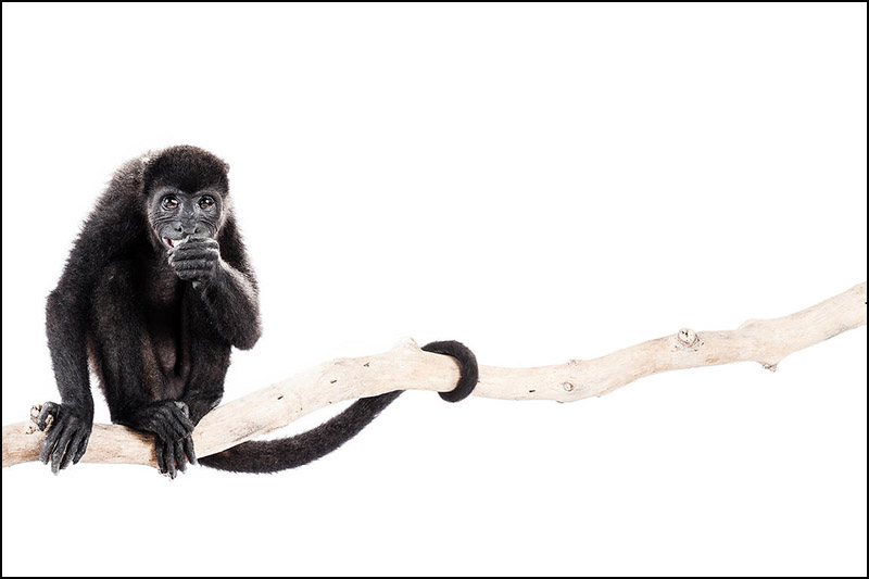 prada shoes funny looking monkeys pictures howler