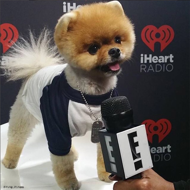 jeff the pomeranian dogs who deserve more followers than you jiff the 6568