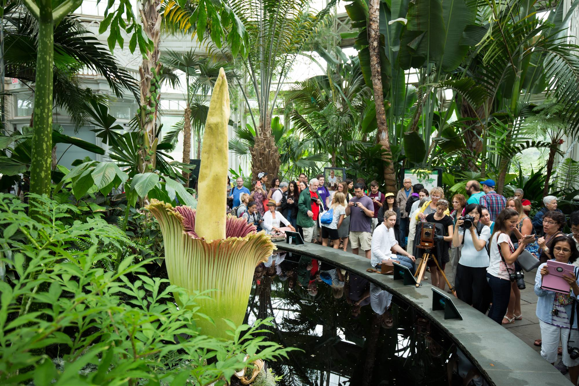 About the Blooming of the Corpse Flower Titan Arum