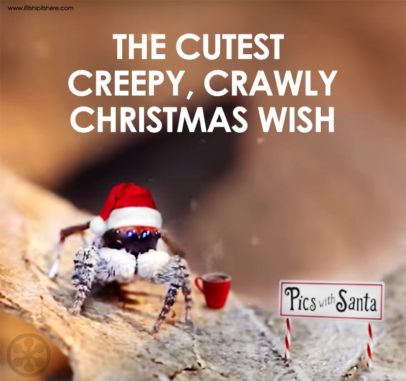 peacock spider christmas