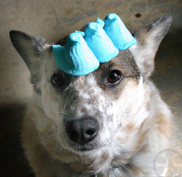 dog with peeps on his head