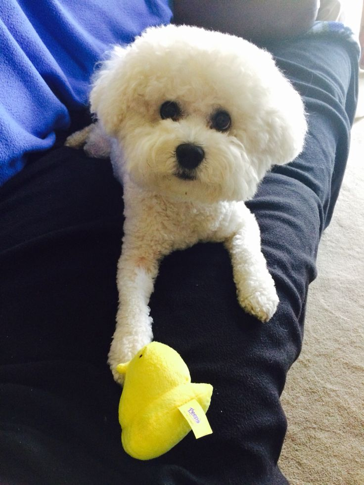 maltese with easter peep