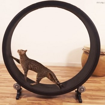 Faster Pussycat, Run, Run! Now There's An Exercise Wheel For Cats.